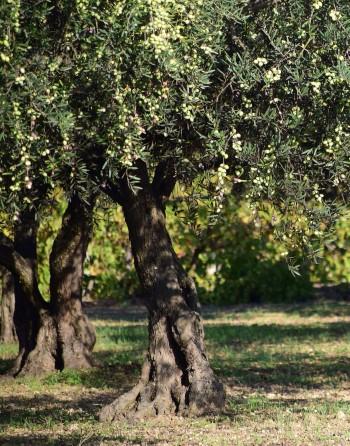 Olivo - Olea oleaster
