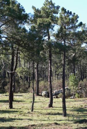 Pino resinero - Pinus pinaster