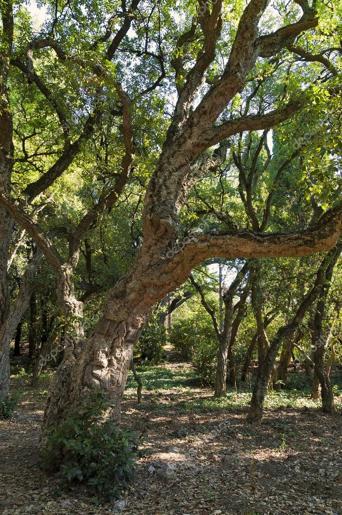 Alcornoque -Quercus suber
