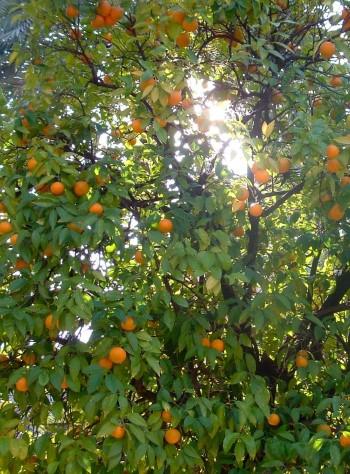 Naranjo - Citrus sinensis