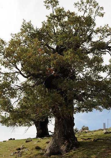 Quejigo - Quercus faginea