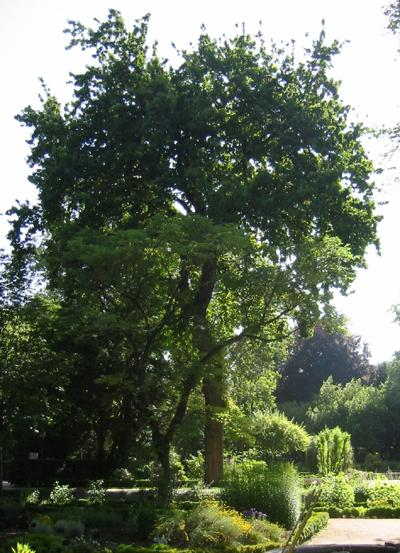 Roble común - Quercus robur